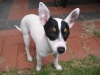 Tenterfield Terrier, 5 months, black, white